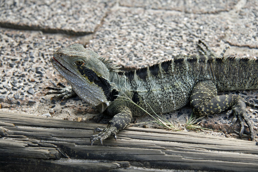 Byron Bay Eastern Water Dragon